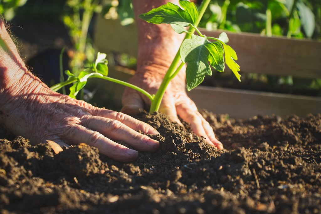 Close up of an elderly persons hands patting down mud around a plant