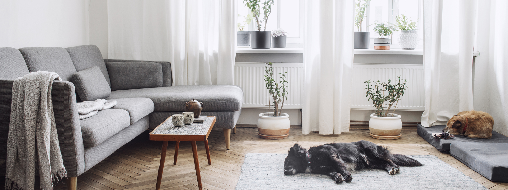 Light, bright living room in home with grey corner sofa, with sleeping dogs. Bright windows with white curtains.