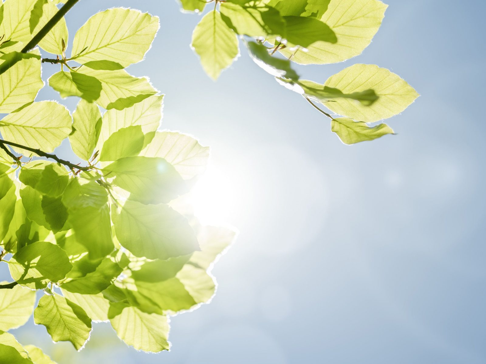 Leaves on branch with blue sky and a shaft of sunshine in background