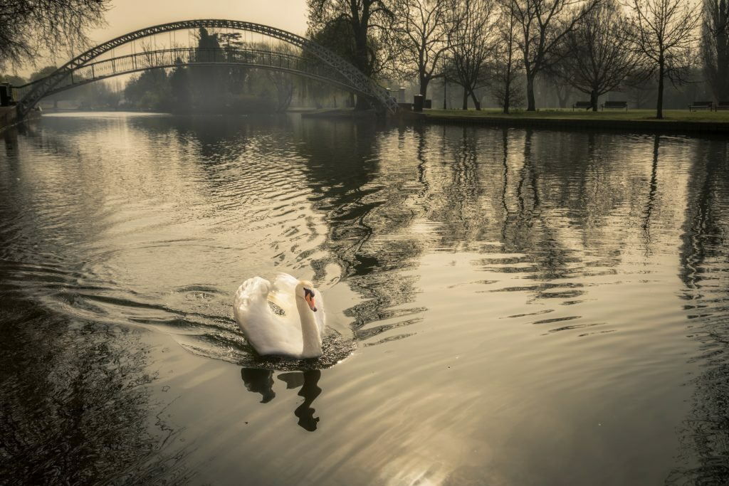 Swan swimming along in muddy waters with bridge in background, IHT in muddy water